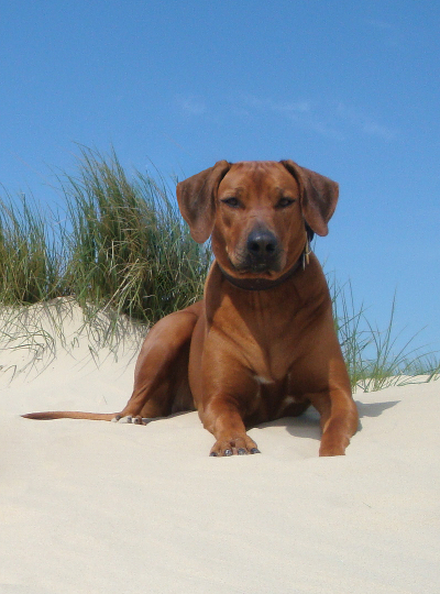 Rhodesian Ridgeback - Pedigree Ashura Links